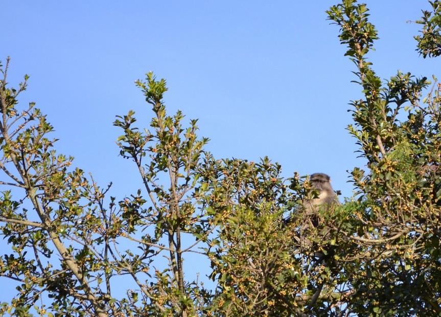 Samango in Forest Fig
