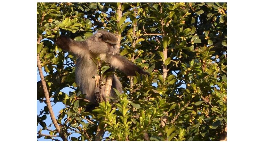 Ficus eaten by samango monkey