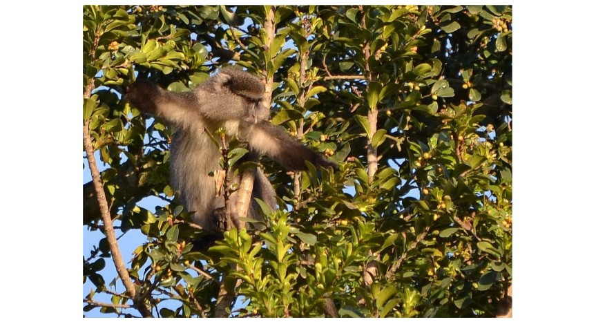 Friends in high places: The vervet (Chlorocebus pygerythrus)/samango (Cercopithecus albogularis labiatus)relationship
