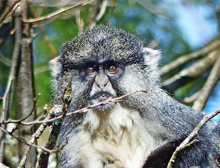 Samango Monkey KZN Midlands 1