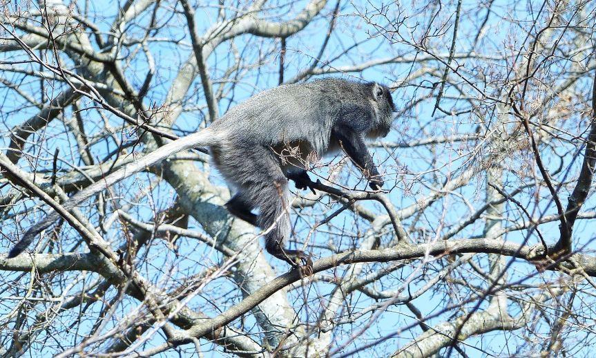 Samango Monkey KZN Midlands 2