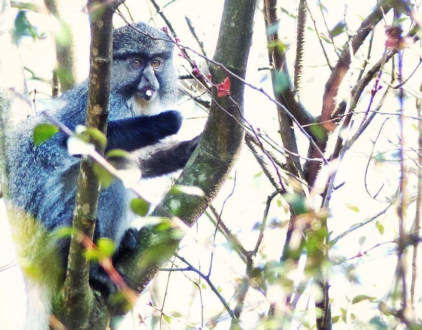 Samango Monkey KZN Midlands 3