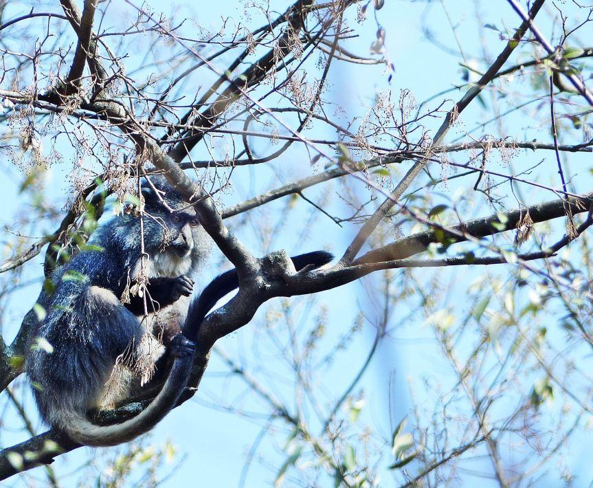 Samango Monkey KZN Midlands 4