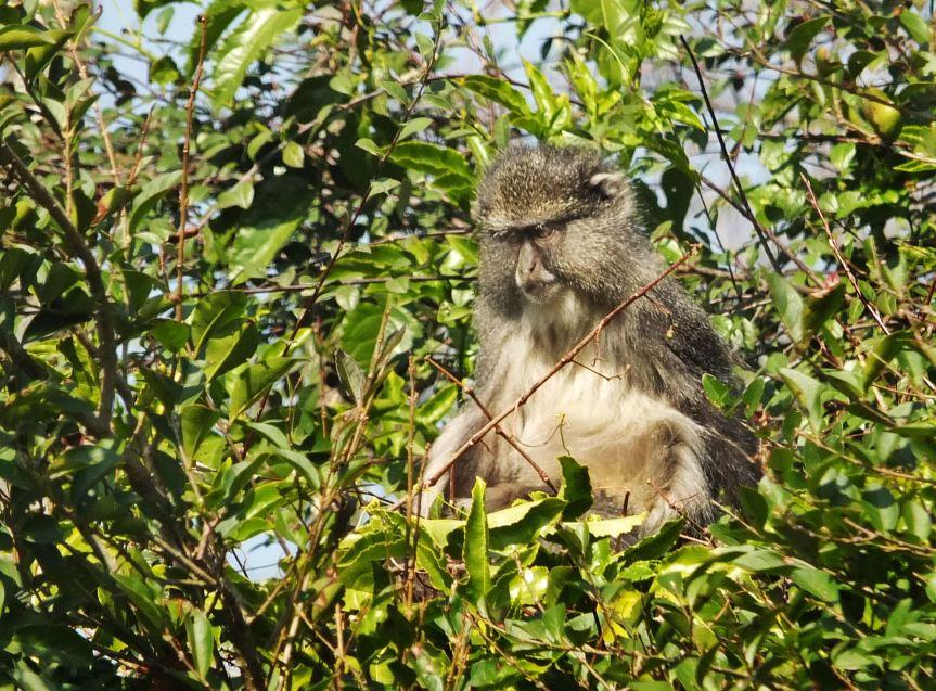 Samango Monkey KZN Midlands 5