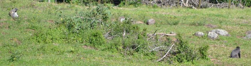 Samangos, Vervets and Bushbuck – InterspeciesRelationships