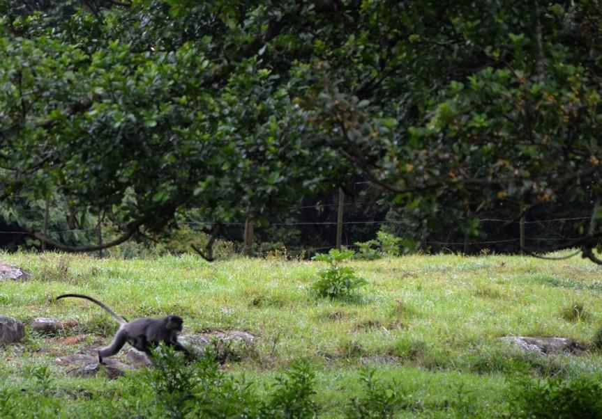 Samango female and infant head towards Ficus craterostoma