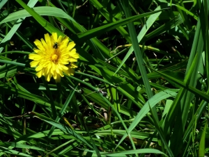 Dandelion- Samango Food Source