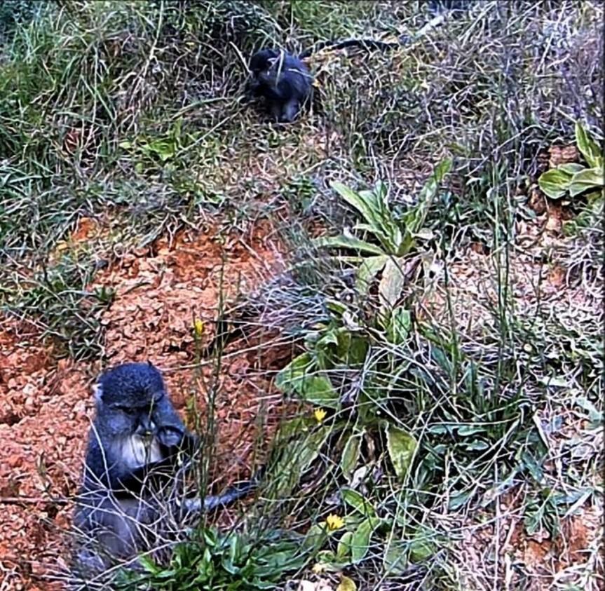 Samango monkeys sykes monkeys blue monkeys
