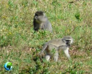 samango monkey, vervet monkey, darwin primate group, samango monkey research project, kzn, chlorocebus, cercopithecus, sykes, blue monkey,