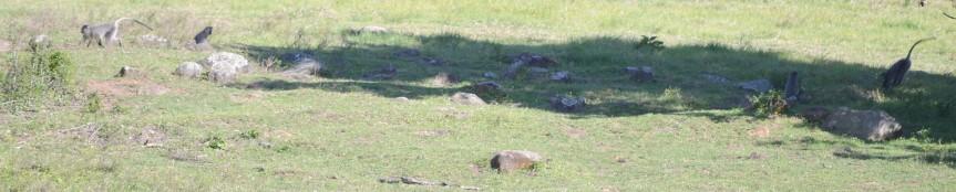 samango monkey, vervet monkey, chlorocebus, cercopithecus, darwin primate group, samango monkey research project