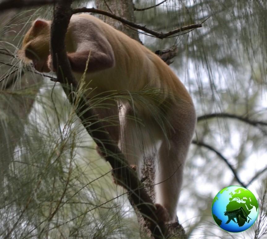 blonde samango monkey, samango monkey, cercopithecus erythrarcus, vervet monkey, samango monkey research project, cape vidal, kwazulu natal, darwin primate group, midlands,