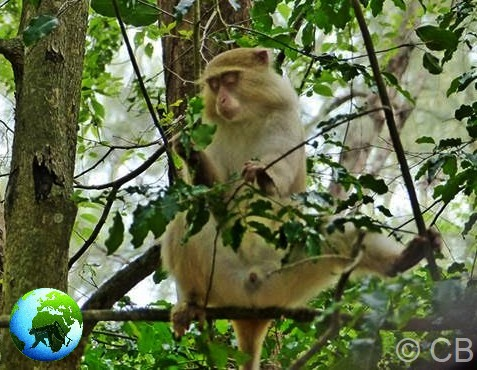 blonde samango monkey, cercopithecus albogularis erythrarcus, vervet monkey, samango monkey research project, kzn, darwin primate group,