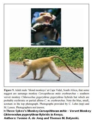 hybrid, hybridisation in wild primates, samango monkey x vervet monkey, sykes monkey x vervet monkey,