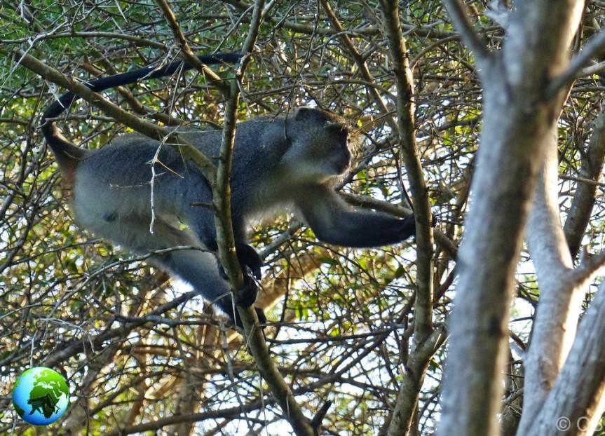 samango monkey, hybrids, primates, vervet monkey, samango monkey research, darwin primate group,