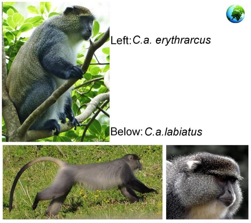 samango monkey research project, vervet monkey, kwazulu natal, midlands, darwin primate group, cercopithecus, labiatus, erythrarcus, chlorocebus pygeruthrus, sykes monkey, blue monkey, cercopithecus mitis,