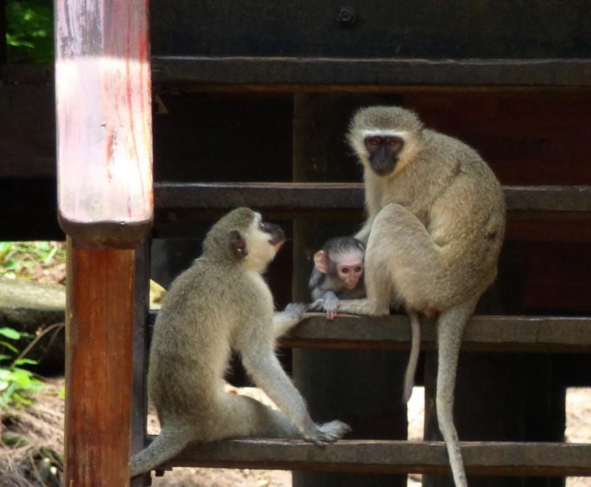 vervet monkey, samango monkey, cercopithecus labiatus, erythrarcus, chlorocebus pygerythrus, samango monkey project, midlands, kwazulu natal, darwin primate group,