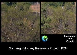 midlands meander, samango monkey, cercopithecus albogularis, sykes, blue monkey, midlands, kwazulu natal, karin saks, samango safari, airbnb experiience, baboons, vervets,