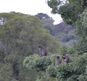 samango monkey, dargle valley, midlands, kwazulu natal, karin saks, airbnb experience, samango safari, lemonwood cottages,